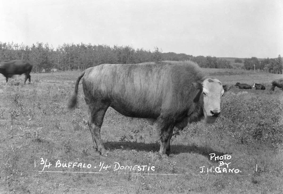 A bison-cattle hybrid is weird, wacky and wild